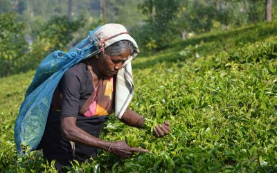 Teefabrik Ahangama