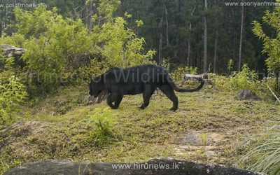 Sri Lankan Black Panther' rediscovered in forests of Adam's Peak